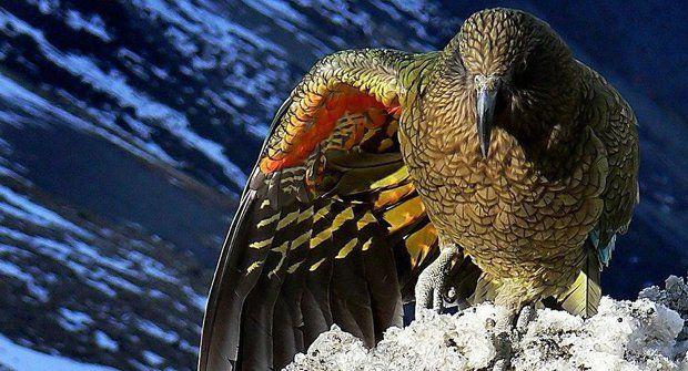 Papoušci Kea: Nakažlivá hra