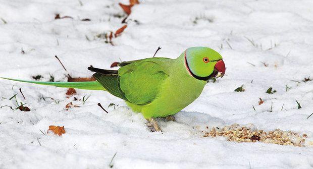 Nebezpeční papoušci: Jak se z mazlíčků stanou škůdci