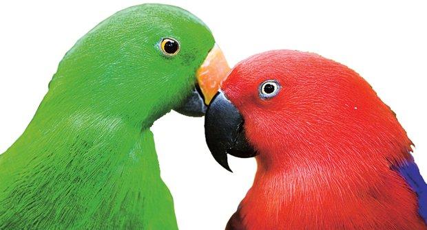 Mazlíčci s dravčím zobákem: Odkud přišli papoušci?