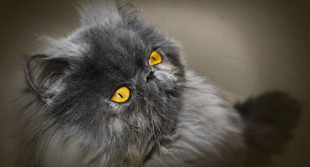 Kočičí plemena: Perská kočka - Lenoch, který proválí celý den