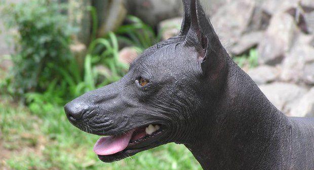 Psí plemena: Peruánský naháč, pes bez srsti pro alergiky