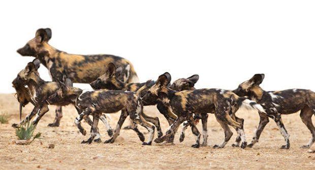 Hlasující smečka: Kýchání psů hyenovitých