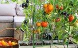 Chcete vlastní rajčata nebo jahody? Stačí balkon