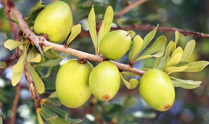 Plody argánie trnité