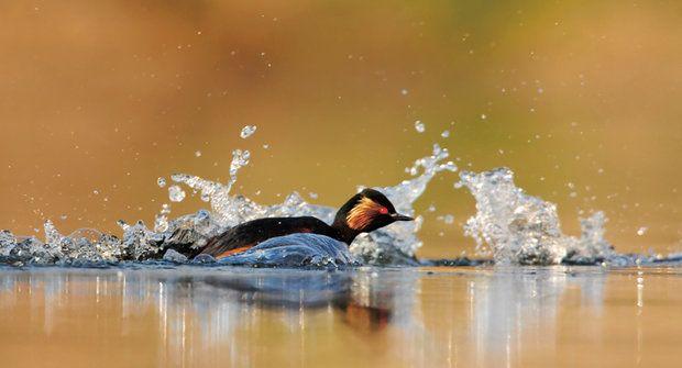 Miss ptačí krásy 2015 potápka černokrká