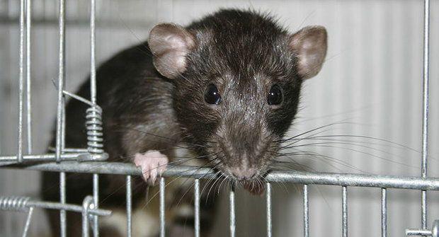 Potkaní restaurace: Co je na menu? Mozečky???