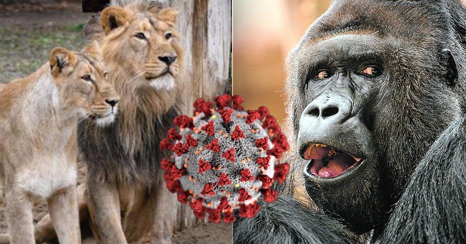Několik zvířat v Zoo Praha bylo pozitivně testováno na covid.