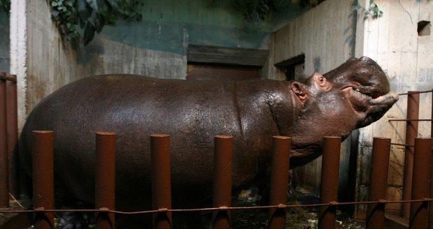 V Zoo Praha zemřela hroší celebrita Slávek. Povodně v roce 2002 statečně přečkal v areálu Zoo.