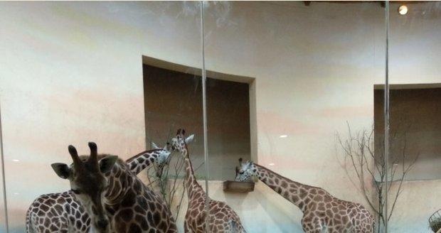 V Zoo Praha patří k tomu nejlepšímu pavilon žiraf, který je schovaný úplně na konci zahrady. Žirafy jsou pořádně zvědavé a přijdou mnohdy až ke sklu.
