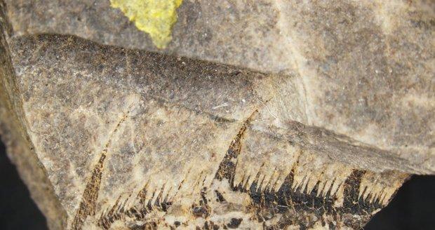 Detail zkamenělého klepeta osázeného ostrými zuby. Podle paleontologa Štěpána Raka si jejich prostřednictvím přitahoval řasy coby potravu.