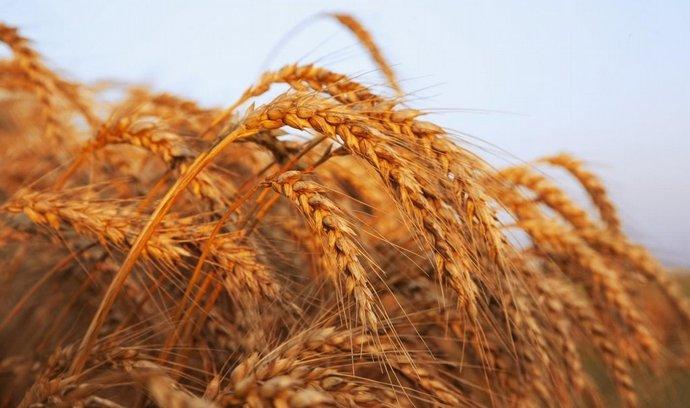 Pšenice (ilustrační foto)