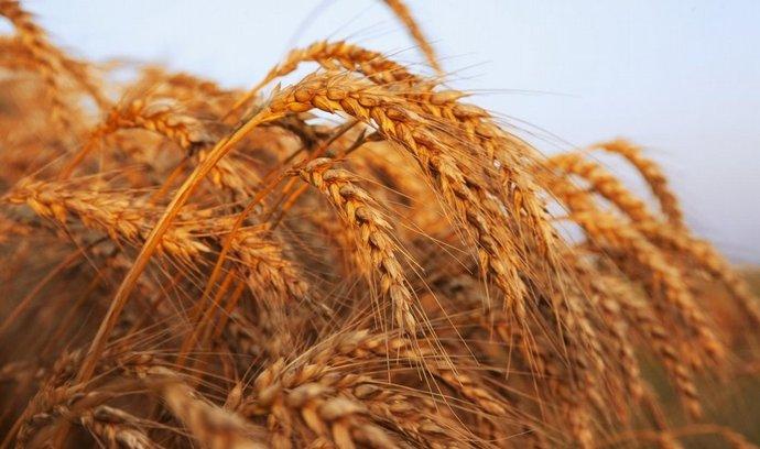 pšenice, ilustrační foto