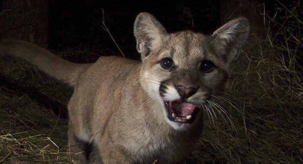 Puma: Malá velká kočka