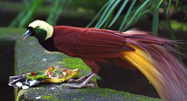 Opeření tanečníci rajky: Ptáci z ráje