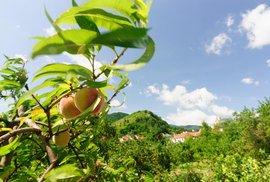 Království meruněk: Rakouské městečko Spitz se proslavilo svými meruňkovými sady,…