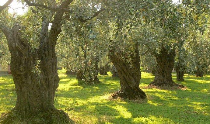 Řecké olivovníky