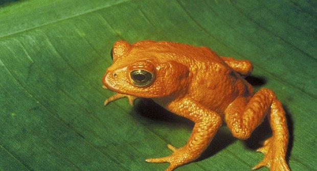 Páření v amplexu: Vzpomínka na zlaté žáby