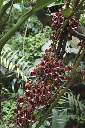 Bohaté květy vyrůstají přímo z kmene, podobně je tomu i u kakaovníku.