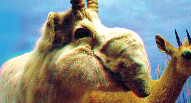 Antilopy s chobotem: Sajgy podruhé vstávají z mrtvých