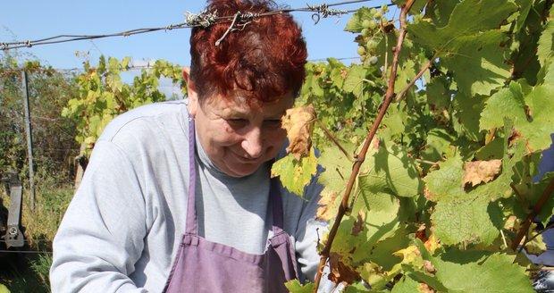 Na Slovácku začal hlavní sběr hroznů. V Blatnici pod Svatým Antonínkem je sbírají ručně i kombajnem.