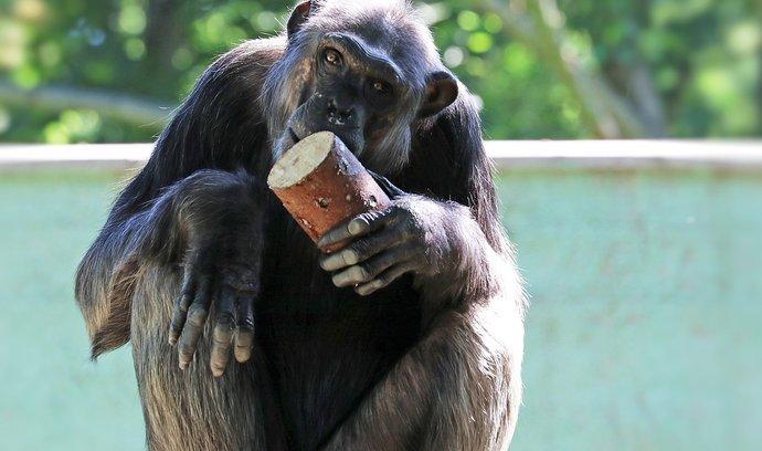 Šimpanzi se rádi opičí