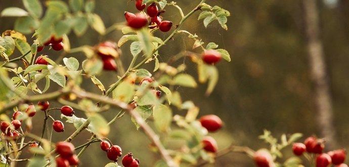 Podzimní pečení: 3 recepty na šípkové sladkosti ke kávě