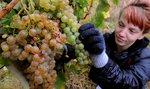 Vinařům scházejí sezonní sběrači ze zahraničí. Robotizace pomáhá jen částečně