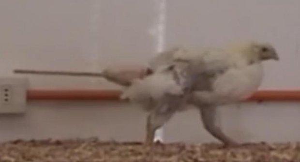 Vědci přidali slepicím dinosauří ocas