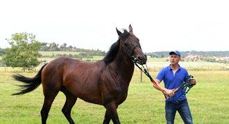 Nagano Gold: Legendární kůň se vrací domů. Závodil i před královnou