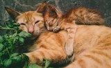 Plán kŕmenia: od mačiatka po veľkého kocúra