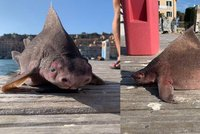 Prasečí zrůda z hlubin: Rybáři vytáhli z vody obludného žraloka