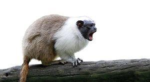 Chytrá strategie opiček: Tamaríni mění přízvuk!