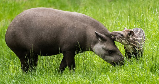 A young female South American tapir was born on April 29 this year.  In the photo with his mother female Taluen.