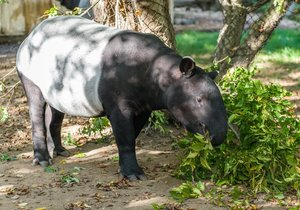 Morir tapir will travel from the Prague Zoo to Germany.  They said a big farewell party for him