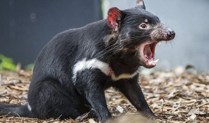 Zoo plánuje chovat ohroženého tasmánského čerta.