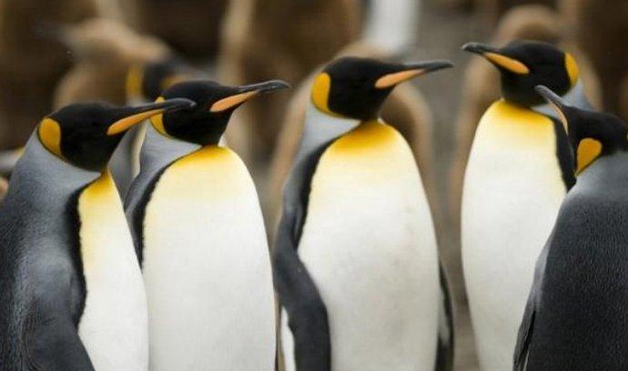 Tučňáci patagonští