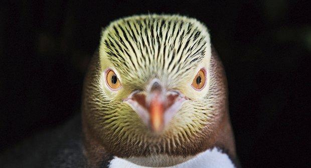Směr Antarktida: Plavecký maraton tučňáků