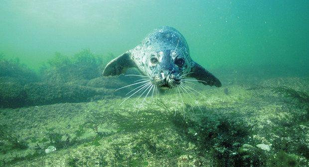 Vousy jako antény: Tuleni zachytí vodní vlnění