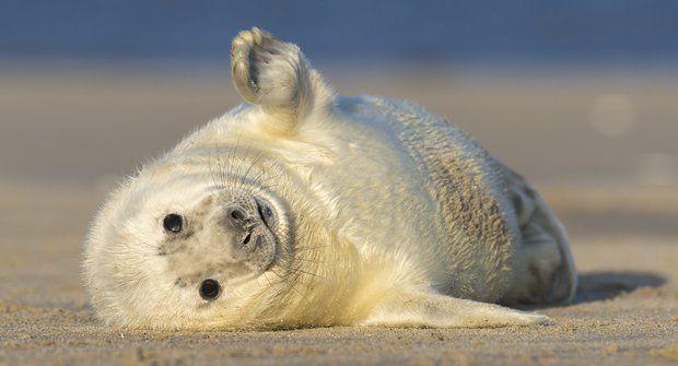 Stateční plyšáci: Samostatná tulení mláďata