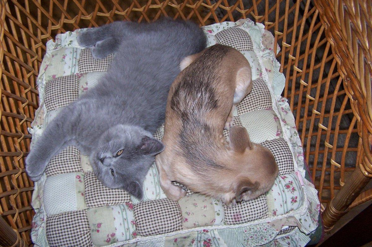 Čivava Bobík Emanuel Kalíšek a britská kočka Beca Luisa Emanuela.