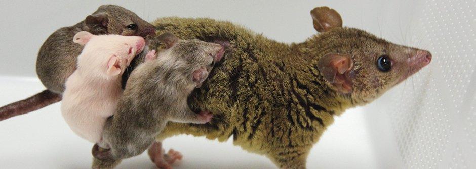 Vačice bez vaku: První geneticky upravený vačnatec