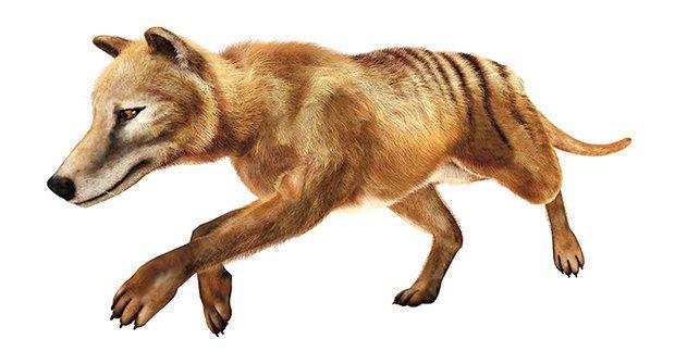 Pátrání po vakovlkovi: Vyhynul nebo nevyhynul?