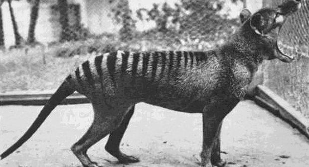 Příběhy vyhynulých zvířat: Vakovlk tasmánský