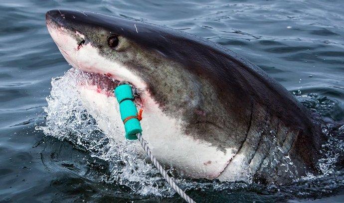 Velký bílý žralok, JAR