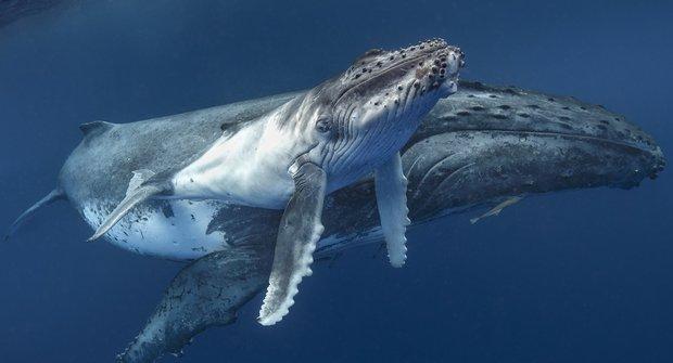Velryby a klima: Jak kytovci dostali cenovku