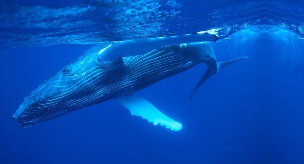 Obři s cedníkem: Jak si velryby plní břicho