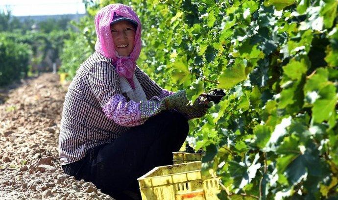 Vinařství v Ning-sia na severu Číny