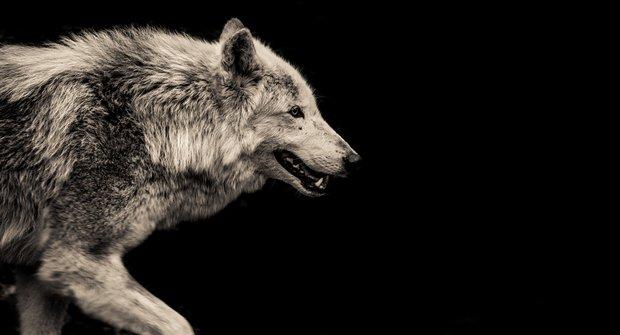 Ztracený svět šelem: Jak se vlk stal nepřítelem člověka