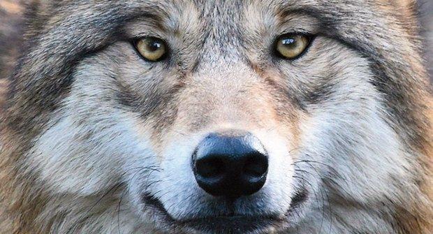 Nevinné šelmy: Vlci raději loví divoká zvířata