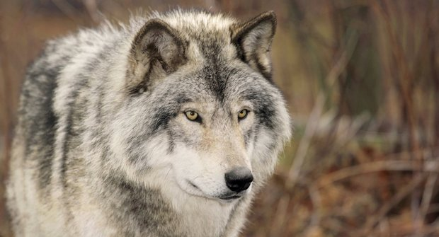 Borůvky pro medvědy: Jak pomohl návrat vlků do Yellowstonu